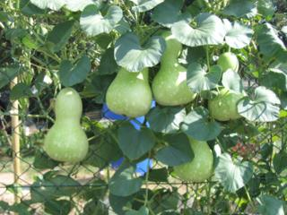 Calabash (Longenaria Sicerarea), flaskatök vagy korsótök