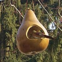 Igen elterjedt a calabash madáretetőként való használata.