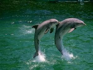 Delfinek párban