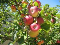 Olyan környezetet szeretnénk, ahol egészséges gyümölcsöket teremnek a fák