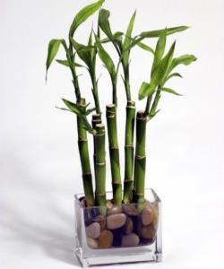 Helyezz el bambuszt vízben otthonod, dolgozószobád vagy irodád déli részén.