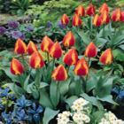 A zsámolyhoz hasonlító Vörös Főnix kialakítása a legszerencsésebb a főbejárat előtti szabad területen valamilyen vörös/piros virágzó növény formájában.