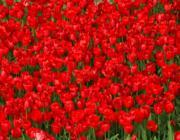 Vörös tulipán mező: Milyen a Fa és a Tűz kapcsolata?